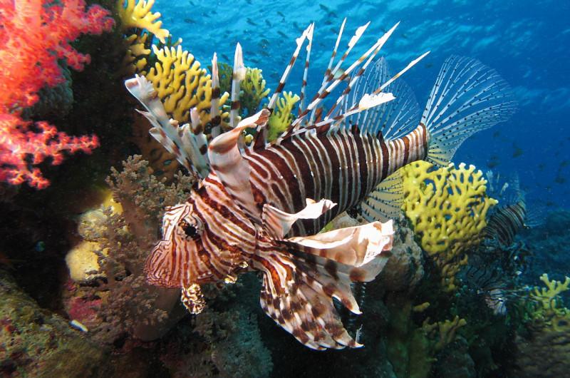 1280px common lionfish near dunraven wreck