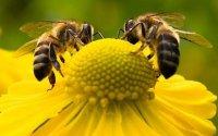 Ε.Α.Σ.: Οι μέλισσες πιο γρήγορες στους υπολογισμούς από το κομπιούτερ